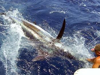 06/07 aguja azul Pesca Deportiva Cavalier & Blue Marlin Gran Canaria