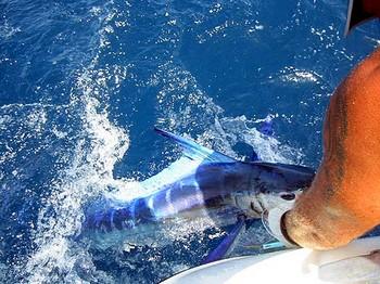 13/07 aguja blanca Pesca Deportiva Cavalier & Blue Marlin Gran Canaria