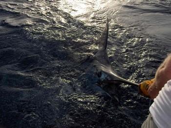19/08 blue marlin Cavalier & Blue Marlin Sport Fishing Gran Canaria