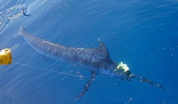 03/06 blue marlin Cavalier & Blue Marlin Sport Fishing Gran Canaria