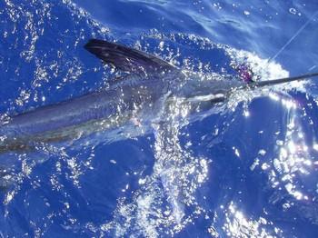12/07 white marlin Cavalier & Blue Marlin Sport Fishing Gran Canaria