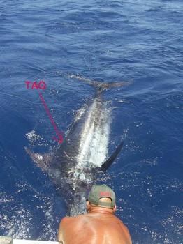 19/07 blue marlin Cavalier & Blue Marlin Sport Fishing Gran Canaria