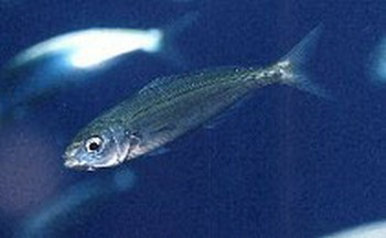 Boque Cavalier & Blue Marlin Sport Fishing Gran Canaria