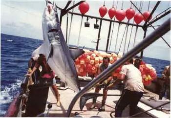 mako shark Cavalier & Blue Marlin Sport Fishing Gran Canaria