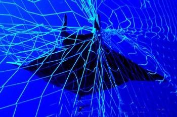 manta ray Cavalier & Blue Marlin Sport Fishing Gran Canaria