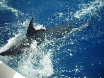 tagged blue marlin Cavalier & Blue Marlin Sport Fishing Gran Canaria