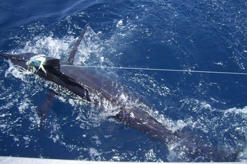 26/07 blue marlin Cavalier & Blue Marlin Sport Fishing Gran Canaria