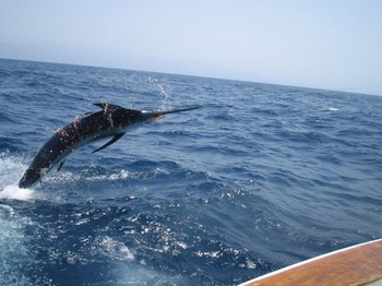 blue marlin jumb Cavalier & Blue Marlin Sport Fishing Gran Canaria
