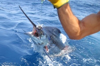 28/07 blue marlin Cavalier & Blue Marlin Sport Fishing Gran Canaria