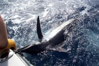 15/08 blue marlin Cavalier & Blue Marlin Sport Fishing Gran Canaria