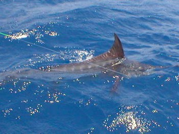 16/08 blue marlin Cavalier & Blue Marlin Sport Fishing Gran Canaria