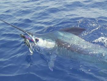 31/08 blue marlin Cavalier & Blue Marlin Sport Fishing Gran Canaria