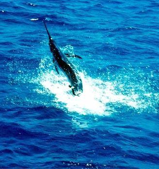 13/02 jumping marlin Cavalier & Blue Marlin Sport Fishing Gran Canaria