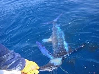 20/04 1st spearfish 2008 Cavalier & Blue Marlin Sport Fishing Gran Canaria