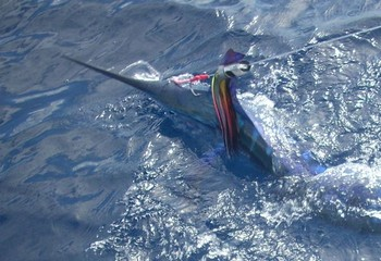 17/05 white marlin Cavalier & Blue Marlin Sport Fishing Gran Canaria