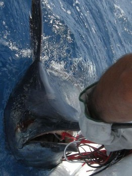 13/07 blue marlin Cavalier & Blue Marlin Sport Fishing Gran Canaria
