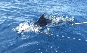 nearly tagged Cavalier & Blue Marlin Sport Fishing Gran Canaria