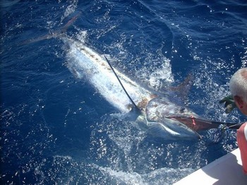 Marlin  blue Atlantic Cavalier & Blue Marlin Sport Fishing Gran Canaria