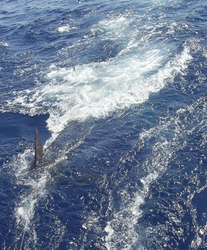 30/07 blue marlin Cavalier & Blue Marlin Sport Fishing Gran Canaria