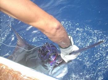 01/08 blue marlin Cavalier & Blue Marlin Sport Fishing Gran Canaria