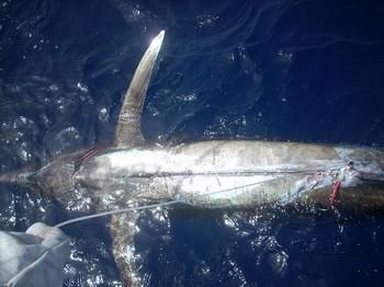 injured Cavalier & Blue Marlin Sport Fishing Gran Canaria