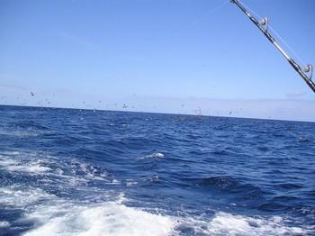 05/08 hunting seagulls Cavalier & Blue Marlin Sport Fishing Gran Canaria