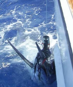 06/08 blue marlin Cavalier & Blue Marlin Sport Fishing Gran Canaria