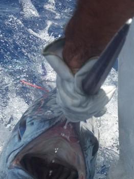 09/08 blue marlin Cavalier & Blue Marlin Sport Fishing Gran Canaria