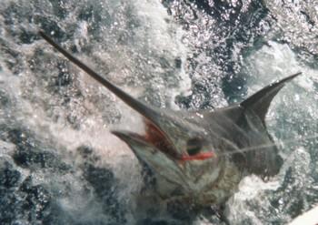10/08 blue marlin Cavalier & Blue Marlin Sport Fishing Gran Canaria