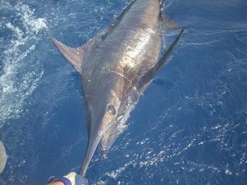 23/08 blue marlin Cavalier & Blue Marlin Sport Fishing Gran Canaria