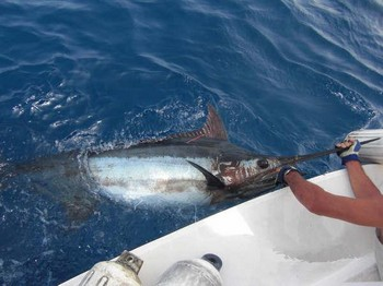 01/09 blue marlin Cavalier & Blue Marlin Sport Fishing Gran Canaria