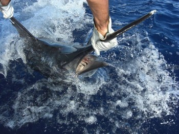 11/09 blue marlin Cavalier & Blue Marlin Sport Fishing Gran Canaria