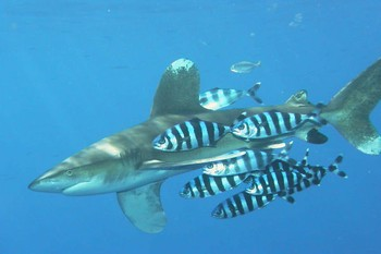 Shark white tip Cavalier & Blue Marlin Sport Fishing Gran Canaria