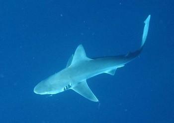Tiburón de arena Pesca Deportiva Cavalier & Blue Marlin Gran Canaria