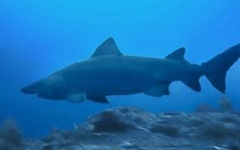 Shark sand tiger  Cavalier & Blue Marlin Sport Fishing Gran Canaria