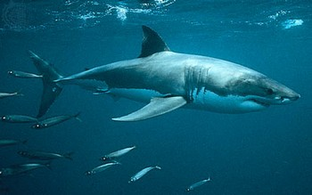 Shark great white Cavalier & Blue Marlin Sport Fishing Gran Canaria