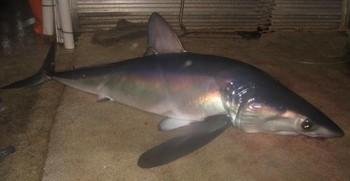Tiburón mako aleta larga Pesca Deportiva Cavalier & Blue Marlin Gran Canaria