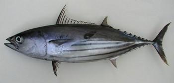 Tuna skipjack Cavalier & Blue Marlin Sport Fishing Gran Canaria