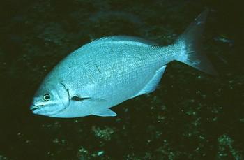 Sea Chub Bermuda Cavalier & Blue Marlin Sport Fishing Gran Canaria