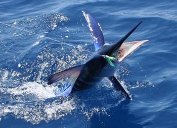 aguja blanca Pesca Deportiva Cavalier & Blue Marlin Gran Canaria