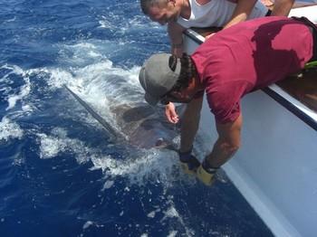 325 kilo marlin Cavalier & Blue Marlin Sport Fishing Gran Canaria
