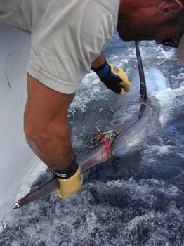 24/06 blue marlin Cavalier & Blue Marlin Sport Fishing Gran Canaria