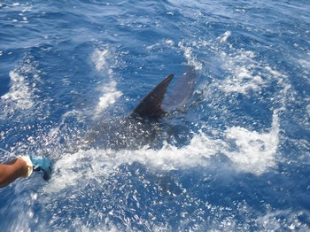 280 kg blue marlin Cavalier & Blue Marlin Sport Fishing Gran Canaria