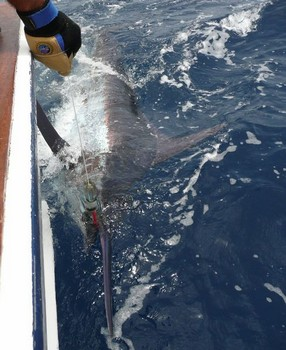 20/07 blue marlin Cavalier & Blue Marlin Sport Fishing Gran Canaria