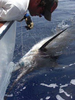23/07 blue marlin Cavalier & Blue Marlin Sport Fishing Gran Canaria