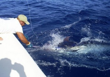 08/08 blue marlin Cavalier & Blue Marlin Sport Fishing Gran Canaria