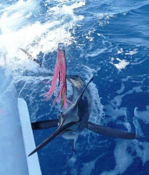10/08 spearfish Cavalier & Blue Marlin Sport Fishing Gran Canaria