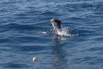 marlin jump Cavalier & Blue Marlin Sport Fishing Gran Canaria