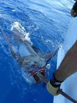 18/08 blue marlin Cavalier & Blue Marlin Sport Fishing Gran Canaria