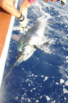 19/08 blue marlin Cavalier & Blue Marlin Sport Fishing Gran Canaria